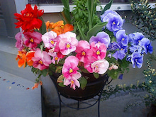 花スミレ2