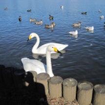 白くて大きな鳥、はや…