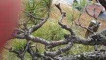 松の枯枝外し