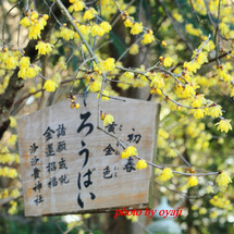 沙沙貴神社の蝋梅20…