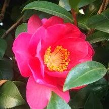 椿の美しい季節♡日本…