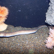 スソウミヘビのお話