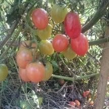年を越したトマト