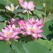 蓮池の蓮の花(lot…