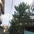 高い枝の伐採