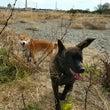 柴犬コロくんが河原へ…