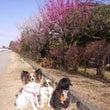 小出川の梅の花&メジ…