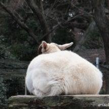 お正月太り?白ヤギ~…