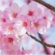 桜(河口恭吾)カバー…