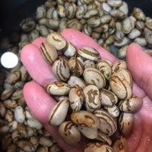 珍しいお豆…貝豆。