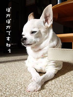 20170121チワワの小太郎