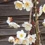 綺麗な梅の花