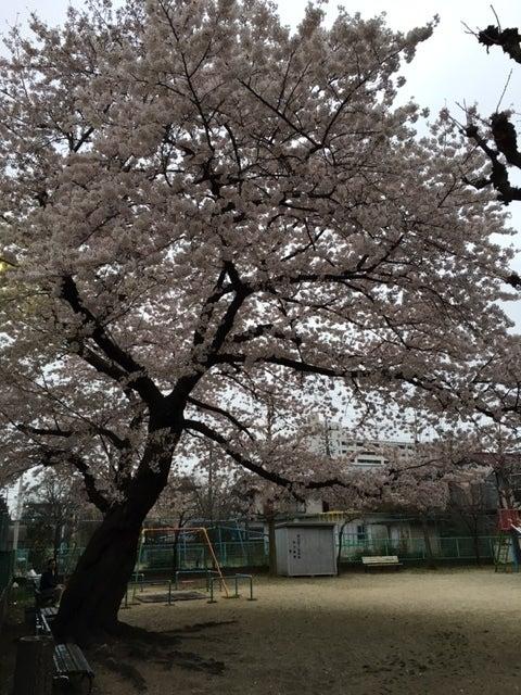 かつての公園桜アップ