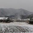 雪の中の収穫作業