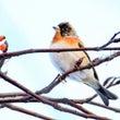 近所のナナカマドで鳥…