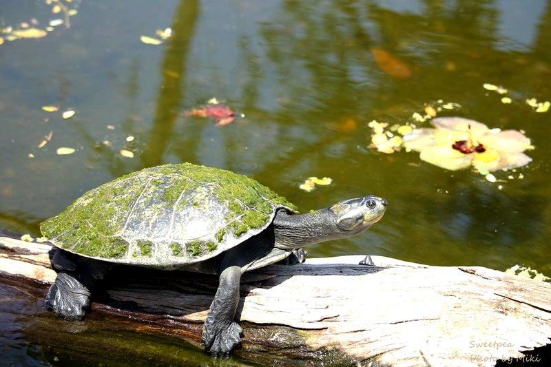 ハワイ旅行 ワイキキ 散歩 カピオラニ公園 ホノルル動物園