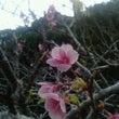 八重瀬の桜祭り