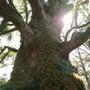 日本1の樹木