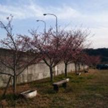 城山さくらの開花の様…