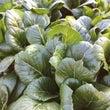 露地の小松菜