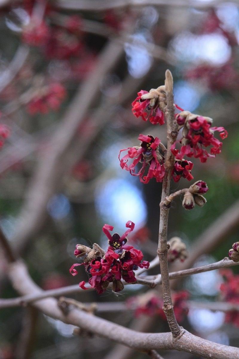 赤花満作(あかばなまんさく)