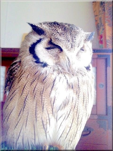 猛禽 フクロウ うたた寝 ホーリー アフコノ 小鳥