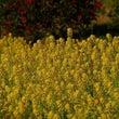 菜の花と山茶花と~糸…