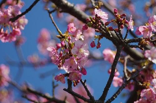 170228 寒桜