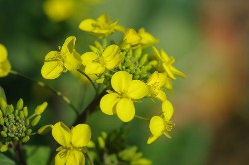 170228 白菜の花