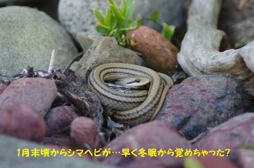 170303 シマヘビ