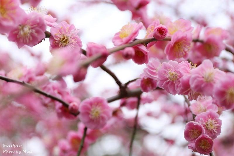 京都 城南宮 枝垂れ梅 しだれ梅 満開 圧巻