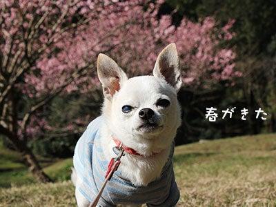 20170316チワワの小太郎