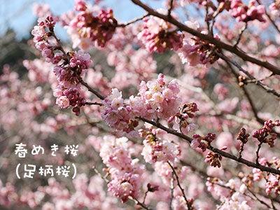 20170316春めき桜(足柄桜)