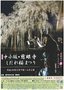 しだれ桜・慈眼寺1