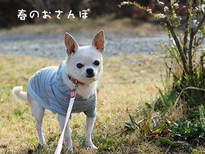 20170318チワワの小太郎
