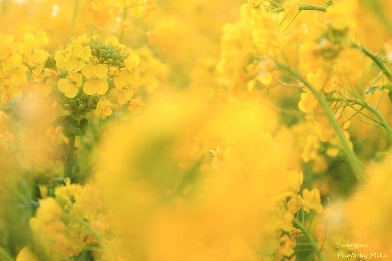 菜の花畑 菜の花まつり お花 写真 黄色の世界