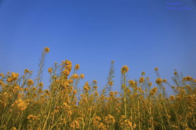 菜の花畑 青空と菜の花 渥美半島 菜の花まつり
