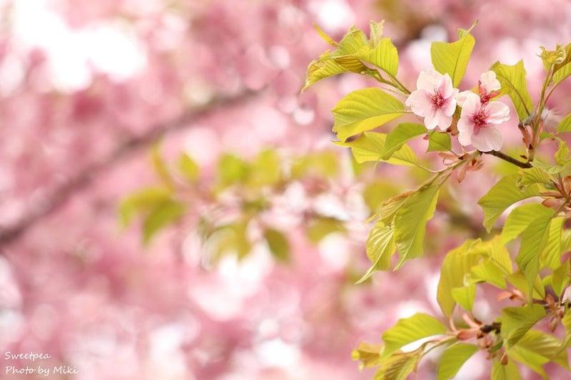 伊丹スカイパーク 伊丹空港 大阪国際空港 河津桜 お花見
