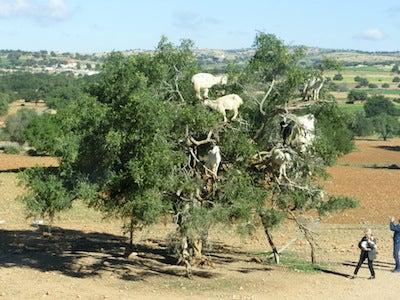 ヒツジの木