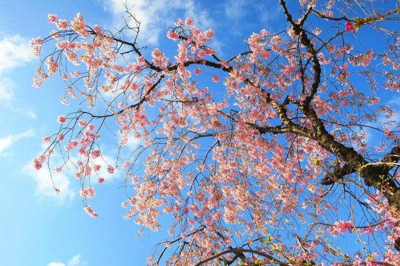 日本の桜2
