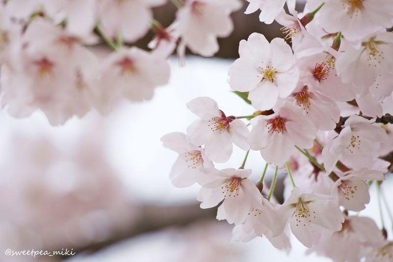 大阪北摂 万博記念公園 桜 満開 ロケーションフォト 撮影