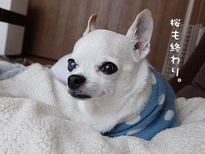 20170417チワワの小太郎