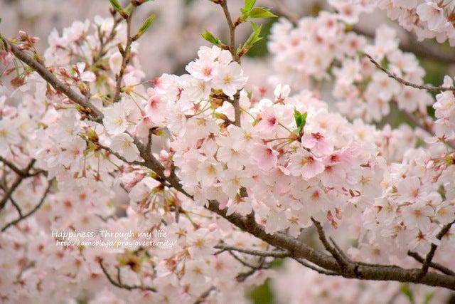 sakura_at西公園_5