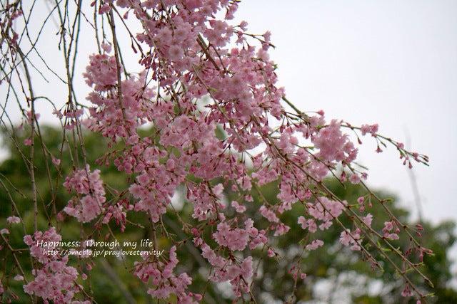 sakura_at西公園_10