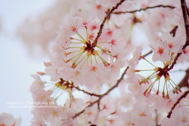 sakura_at西公園_1