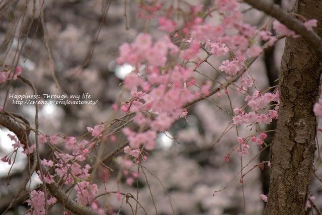sakura_at西公園_3