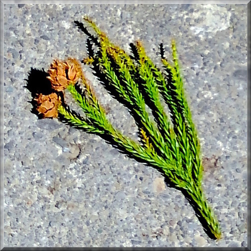 杉ボックリ 松ぼっくり 三峯神社 杉  御神木 自然