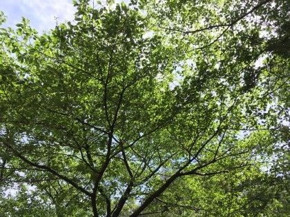 0502-桜の木