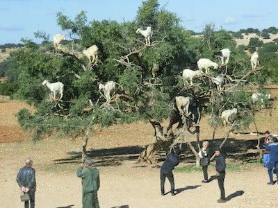 ヤギのなる樹