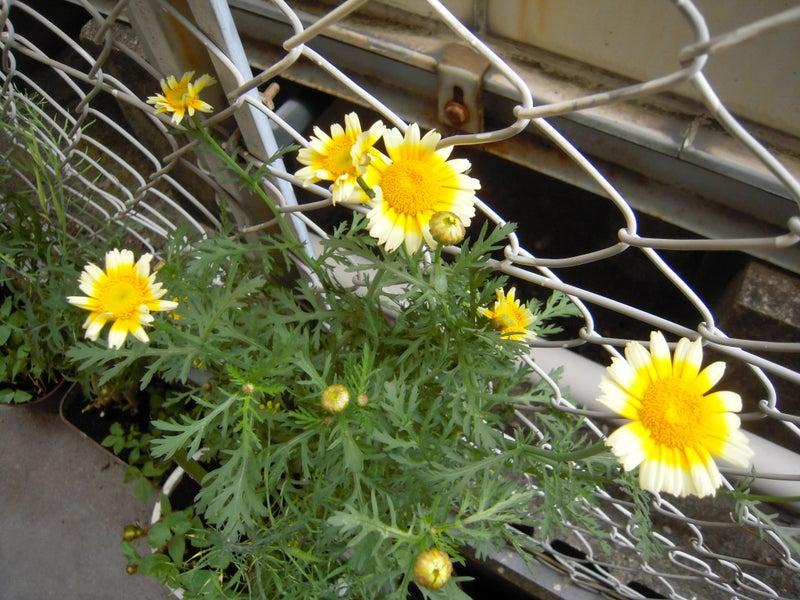 春菊の花777